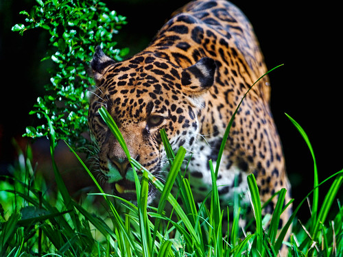 Bess in the vegetation | by Tambako the Jaguar