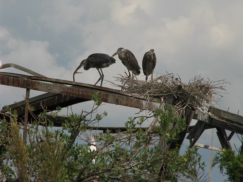 Nesting Herons | by Kerry Wixted