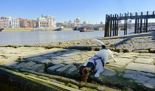 London Jack Russell - Thames beach | by anthonyfalla