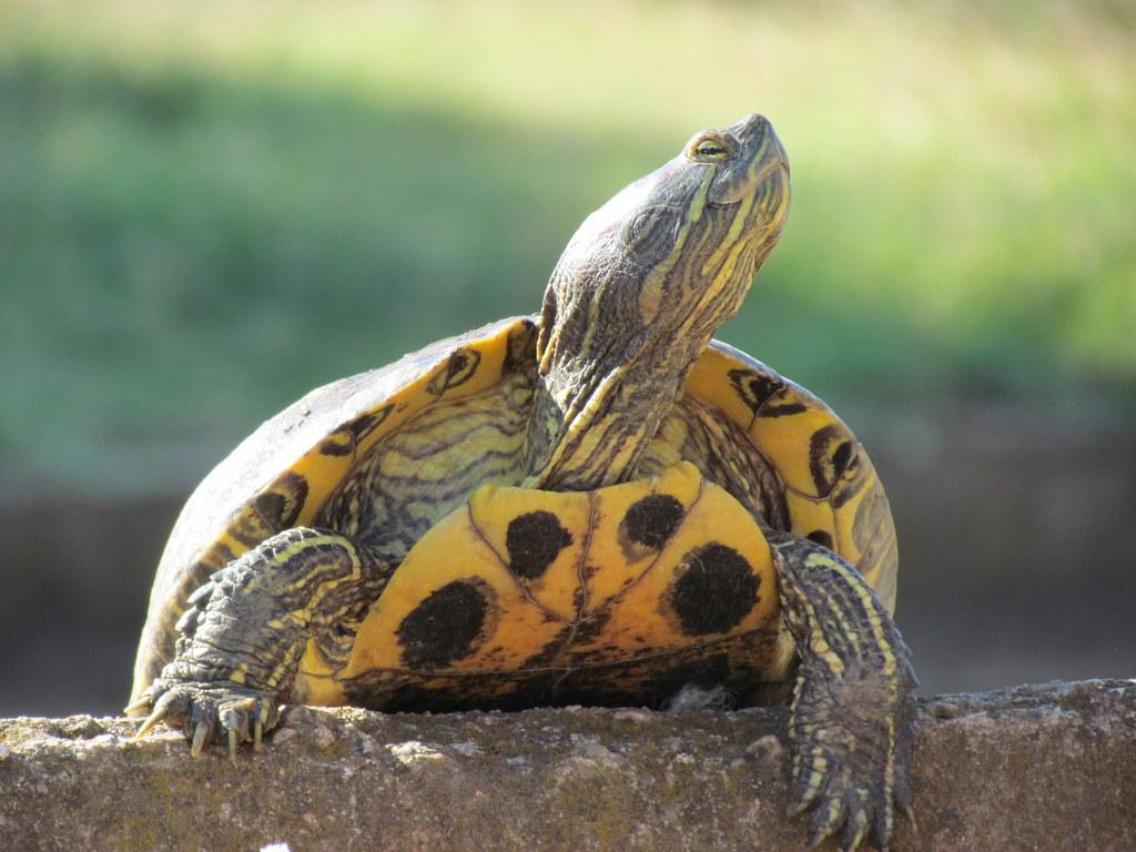 tortue d eau douce les tortues aquatiques sont des tortues flickr