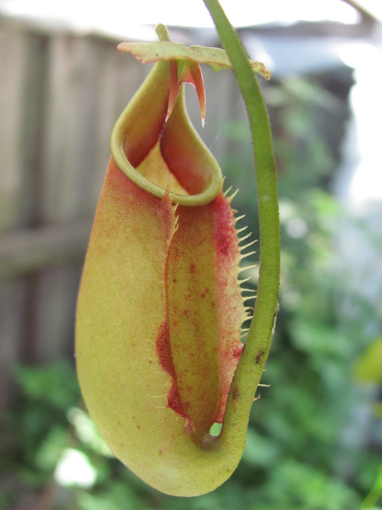 Fanged Pitcher Plant Fanged Pitcher Red