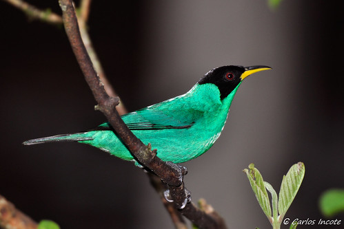 Saí Verde (Green Honeycreeper) | by Carlos Incote