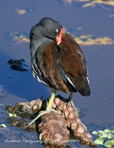 COMMON MOOREHEN - PREEN & SNOOZE - GREEN CAY WETLANDS - IMG_1235 | by Earthlink Photography by P. Richter