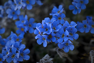 Mountain Forget-me-not | by DenaliNPS