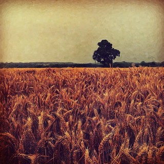 Cornfield | by Lindsey T (Lindsey76)