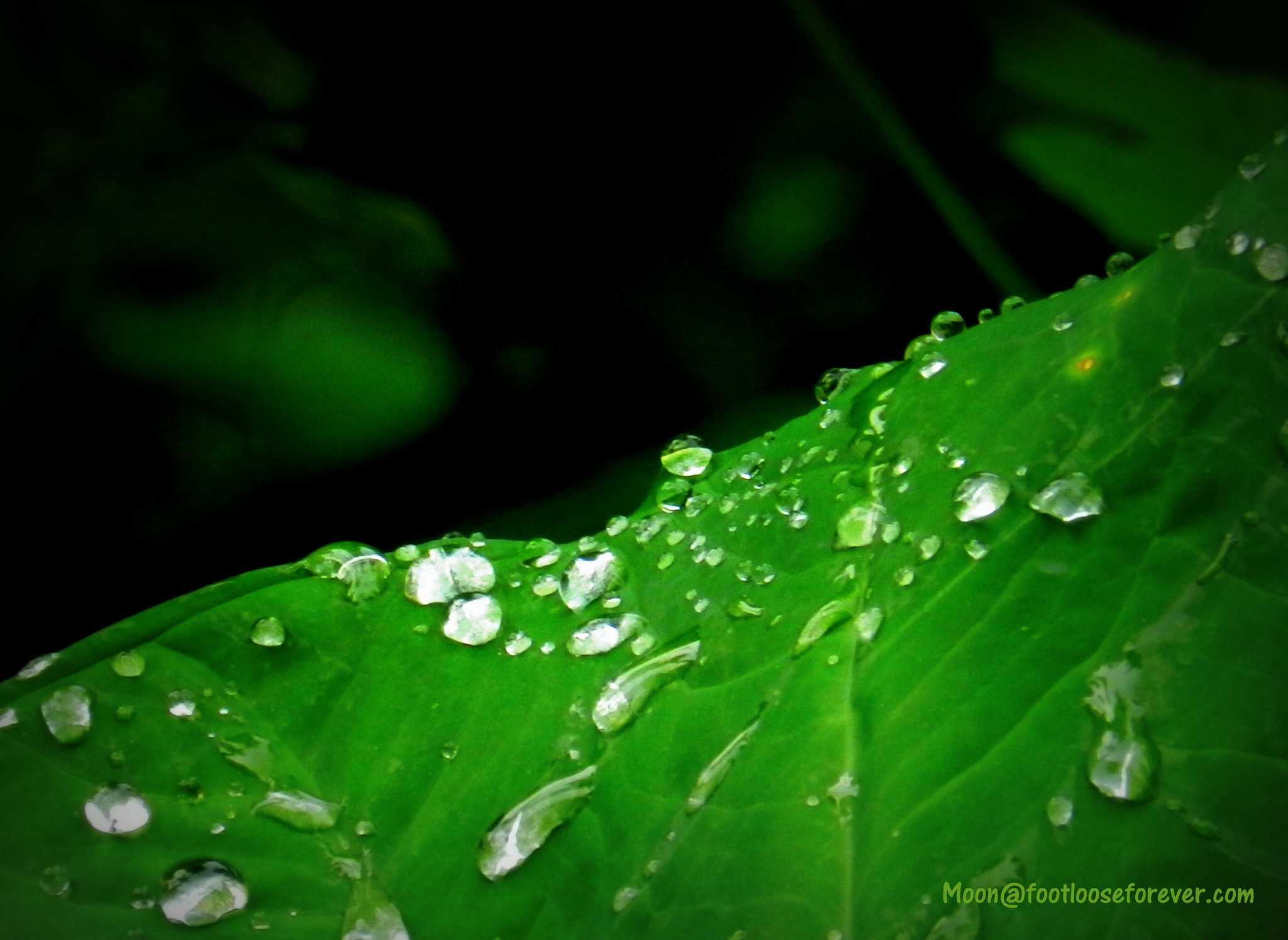 rain drops, water green leaves, monsoon, colocasia leaves