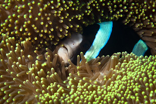 Blending in (  Amphiprion clarkii ) | by Okinawa Nature Photography