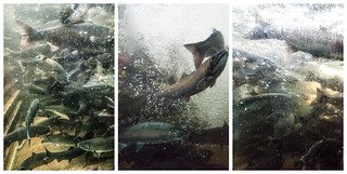 Capilano Salmon Hatchery | by colink.