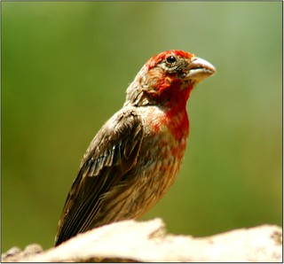 House Finch | by Armpro