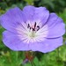 Blue Geranium, Secluded Garden, The Royal KEW Botanic Garden, London @ 21 July 2012 (P4 of 4)