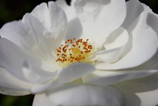 White Rose | by ireniclife
