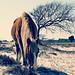 wild winter pony