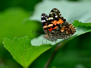 Belle Dame / Painted Lady | by anjoudiscus