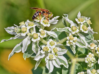 Wasp On Ironweed | by Kool Cats Photography over 10 Million Views