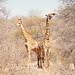 The Kruger Park Experience: Giraffe Duet