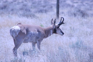 Pronghorn | by Photographer mike.