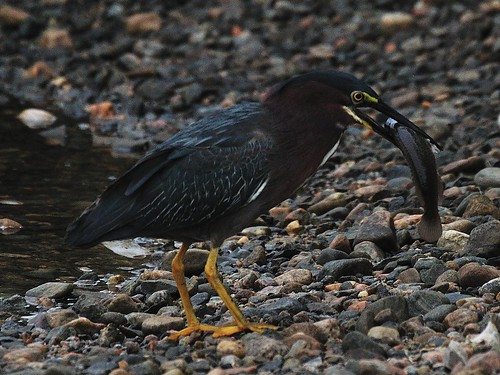 Green Heron with fish...... | by l_dewitt