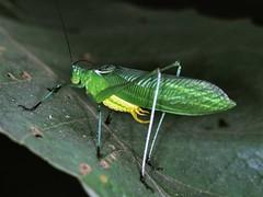 Green Katydid (Zeuneria melanopeza)