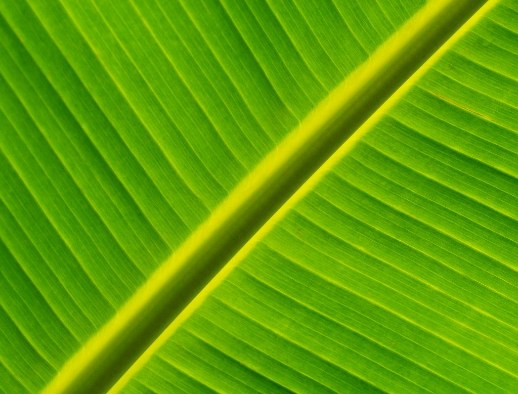 Banana Leaf   In the Monocot Border at the Brooklyn ...