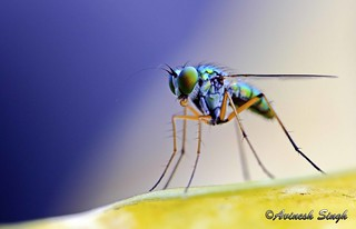Macro of a fly | by Avinesh Singh - World Through My Lens