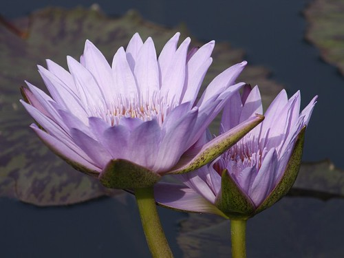 Tropical Waterlilies | by donsutherland1