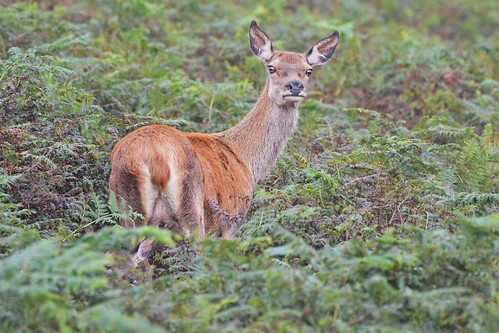 Exmoor red deer hind and calf | by KHR Images