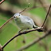 Blue-gray Gnatcatcher 3-20120919