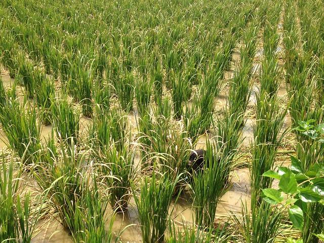 一新社區筊白筍田,獲綠保鑣章認證。攝影:廖靜蕙