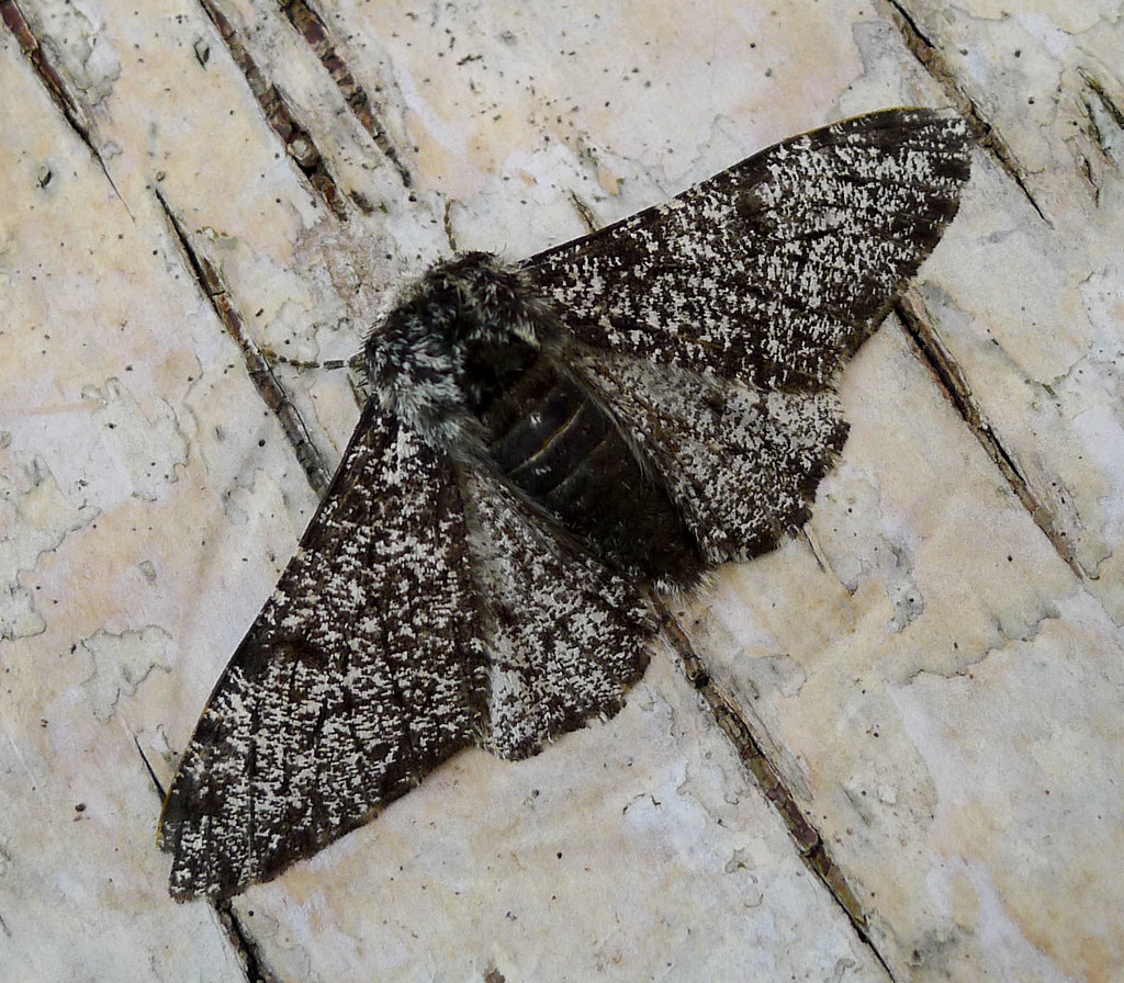 Image result for peppered moth