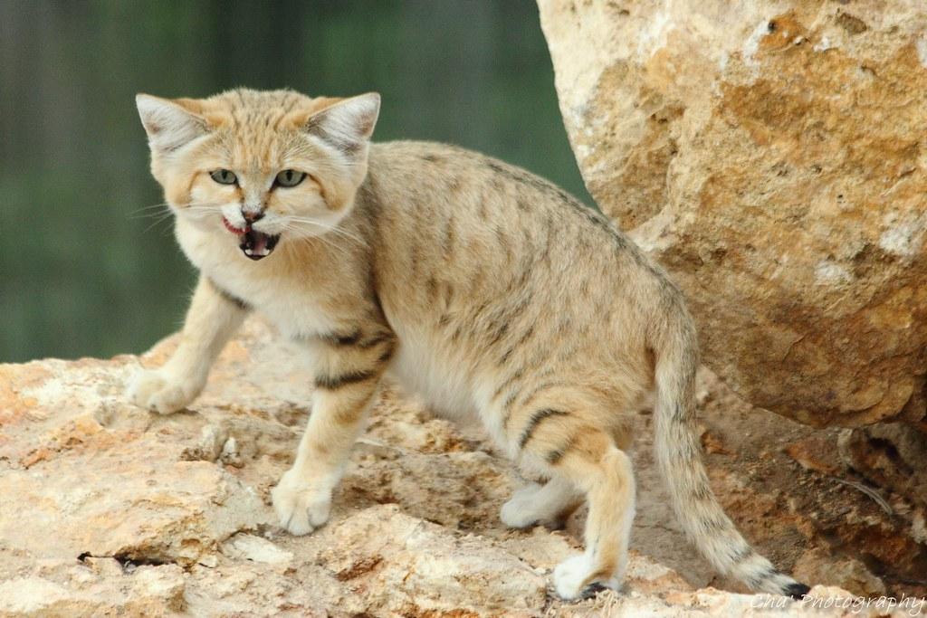 Grimace de chat des sables la matinale aux parc des - Chat des sables a vendre ...
