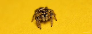 Zebra Jumping Spider - Salticus scenicus | by StevieD70