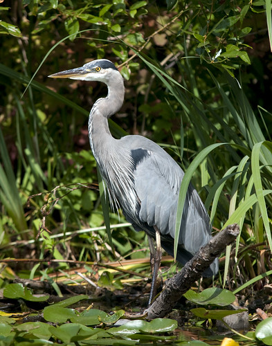 Blue Heron | by James Tarver