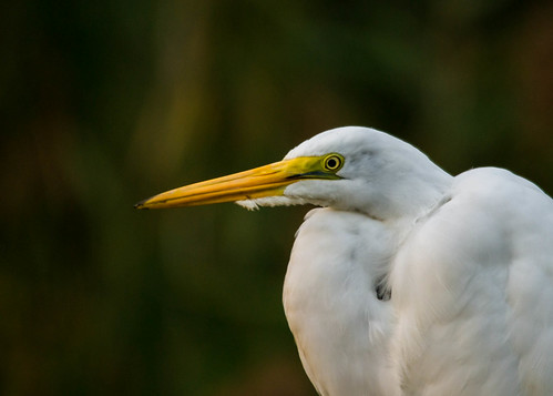 Great Egret | by rickgetsemail