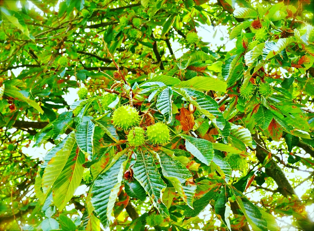 Trees with green spiky balls chestnut lined the
