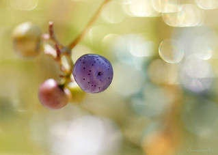 wild grapes* | by Serendipity∞