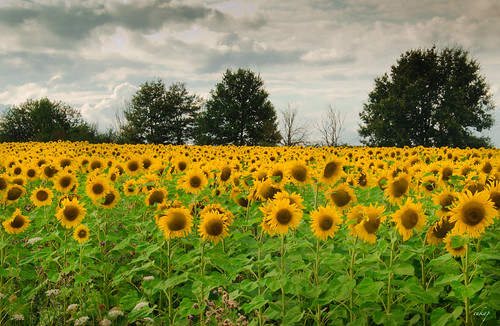 field of sunflowers | by eukap