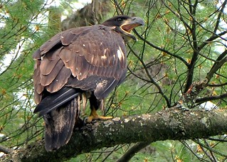 Juvenile Bald Eagle~Hungry And Getting Vocal About It | by Bri Condon