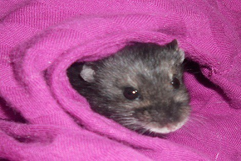 Female Russian dwarf hamster peeking out of blanket