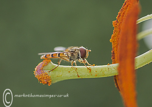 Marmalade Hoverfly | by Danygraig
