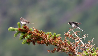 A Couple of Juncos | by zxgirl