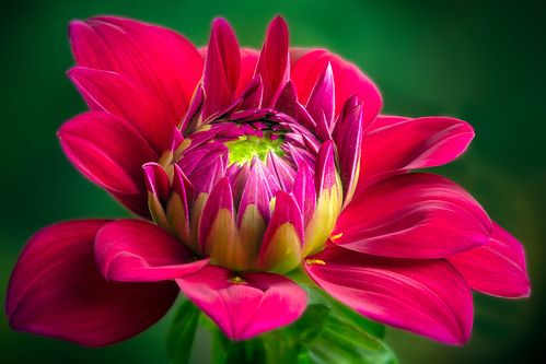 the Glamorous 'Boogie Nites' Dahlia ..... | by P C Chang