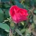 Rosa 'Radrazz' LG 8-16-12 2705 lo-res