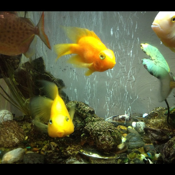 My cute little kissy lipped freshwater parrot fish these for Cute freshwater fish