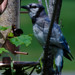 blue jay at in profile