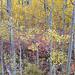 Lee Vining Aspens (Eastern Sierra)