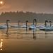 good morning swans
