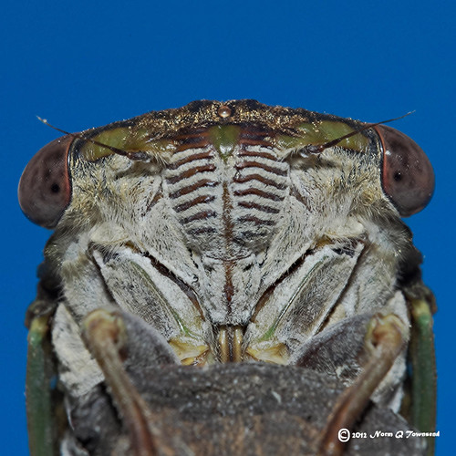 _Swamp Cicada face1279rwt | by Norm Townsend