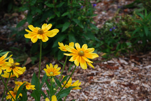 Prairie Sun Rudbeckia in the Habitat Garden | by Rachel Ford James