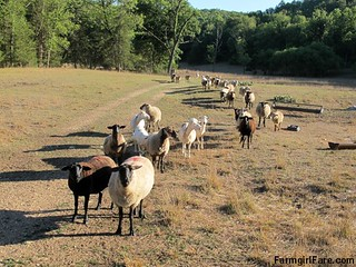 (22-1) Hopeful flock, led by Cary, looking for treats in the front field - FarmgirlFare.com | by Farmgirl Susan