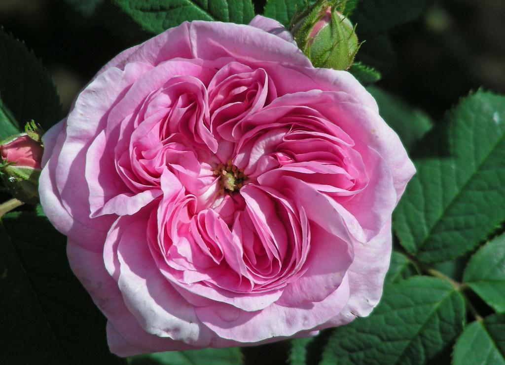 k nigin von d nemark shrub rose also known as queen of den flickr. Black Bedroom Furniture Sets. Home Design Ideas